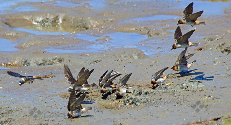 Cliff Swallows Building Materials