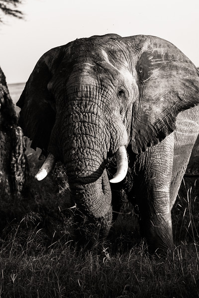 Elephant in national park - East Africa - Tanzania