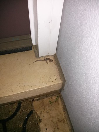 20141223 Salamander on our doorstep
