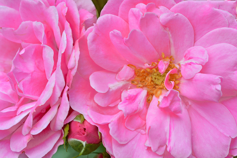 Pink Roses -Bonica