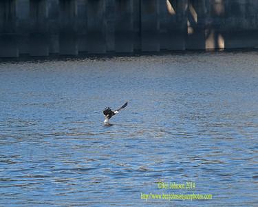 Bald Eagles Conowingo Dam November 2014