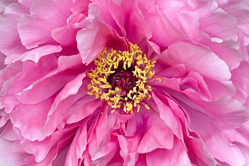 pink-peony-3.jpg
