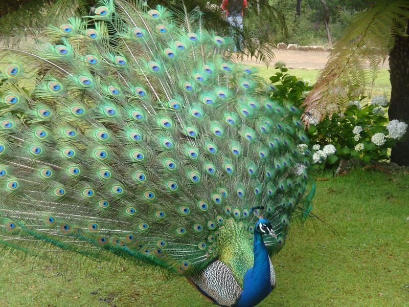 Cataract Gorge peacock 1.JPG