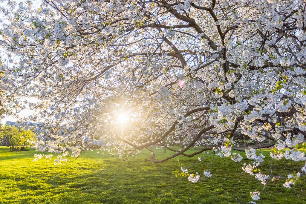 滨州斯沃斯莫尔学院(Swarthmore College),樱花开满院