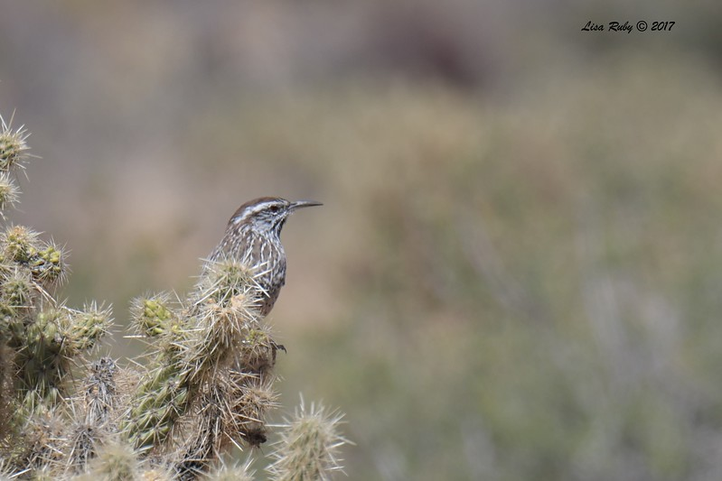 Cactus Wren - 9/17/2017 - Culp Valley Campground off Montezuma Valley Road