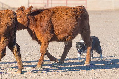 Comstock Classic Stockdog Trial 2020