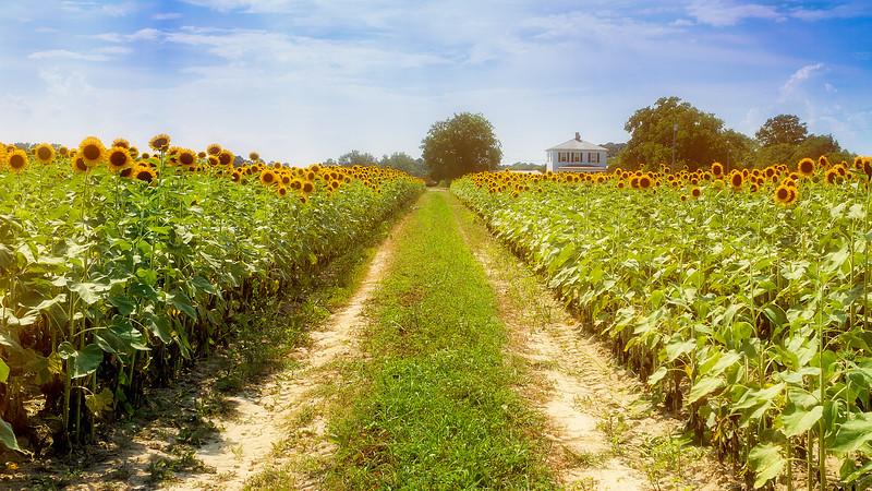 sunflowers field-2.jpg