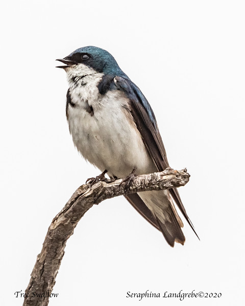 _DSC0004Tree Swallow Singing.jpg