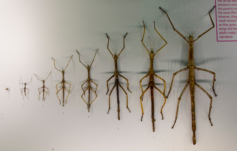 Stick-insect-growth-progression-Montreal-insectorium.jpg