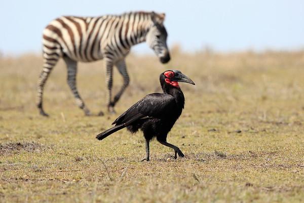 Ground Hornbill Mara Reserve Kenya 2017