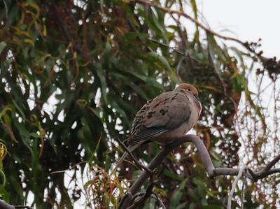 Crest Canyon S.D. Audubon Outing - 6/9/2013