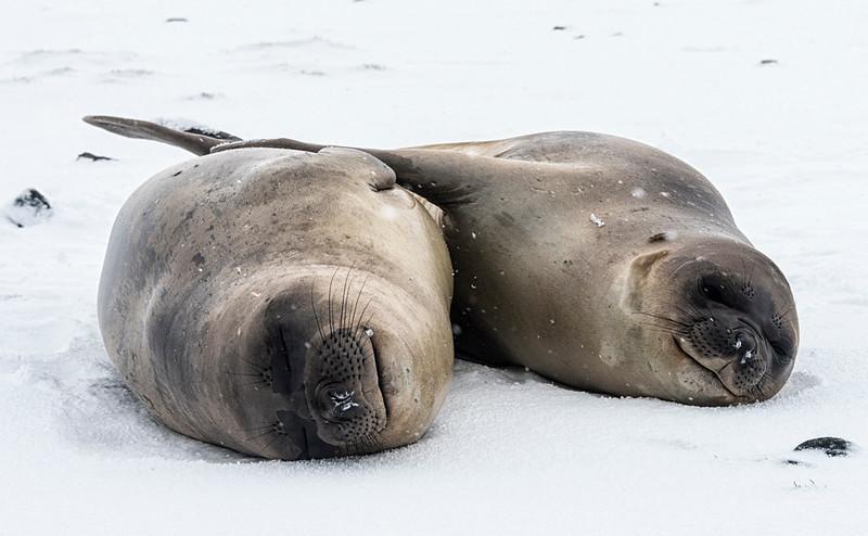 Seals_Fur_Salisbury Plain_South Georgia-1.jpg