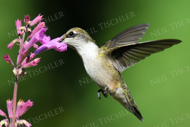 #1195  A ruby throated hummingbird juvenile male sips from the pink flower of an Ava's Hummingbird Mint plant.