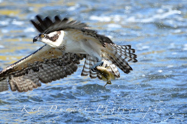 October 2011 My Best Osprey Fishing Shots So Far