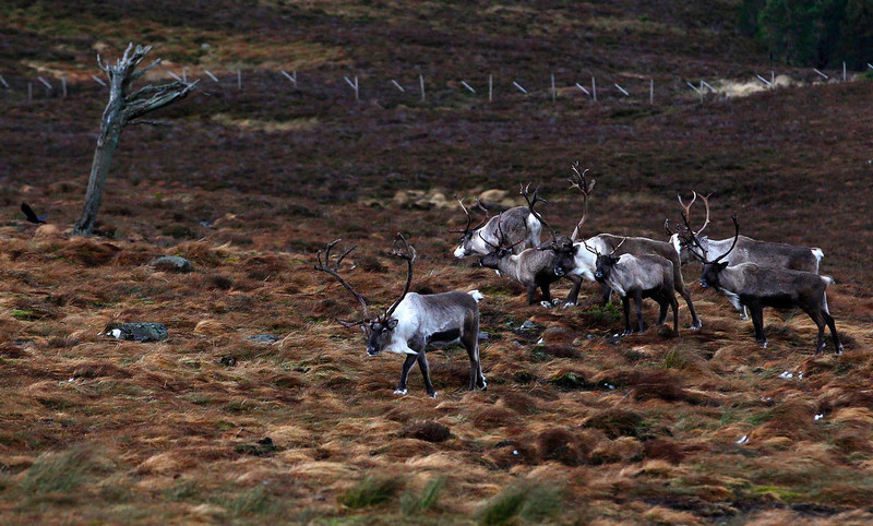 . A herd of reindeer walk together in the Cairngorm Mountains near Aviemore, Scotland December 28, 2012. The 150 strong Cairngorm Reindeer Herd is Britain\'s only herd of reindeer. REUTERS/David Moir