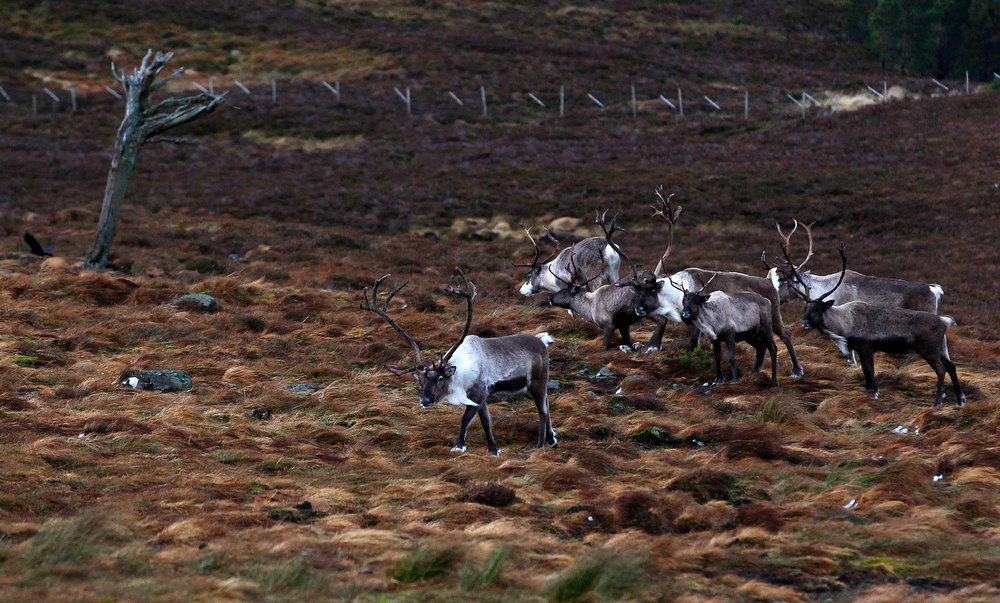 Description of . A herd of reindeer walk together in the Cairngorm Mountains near Aviemore, Scotland December 28, 2012. The 150 strong Cairngorm Reindeer Herd is Britain's only herd of reindeer. REUTERS/David Moir