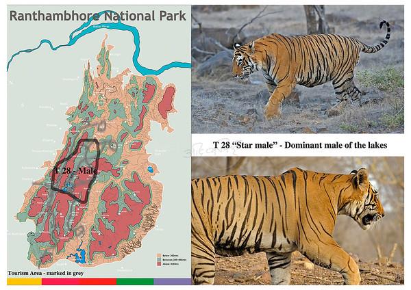 T 28 Ranthambhore tiger