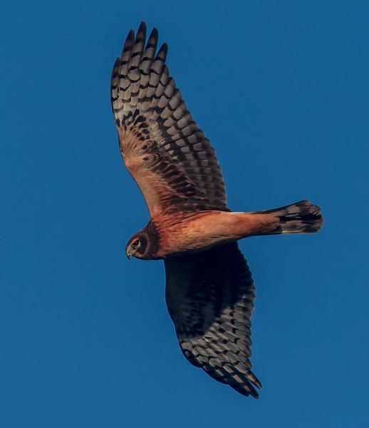 Female Harrier Flyby