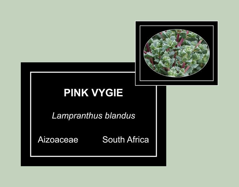 Aizoaceae:  Lampranthus blandus 2018H 02-00  Pink Vygie, Lampranthus blandus Family:  Aizoaceae Distribution:  South Africa  Arid Dome, Conservatory Hidden Lake Gardens, Michigan Taken February 16, 2018