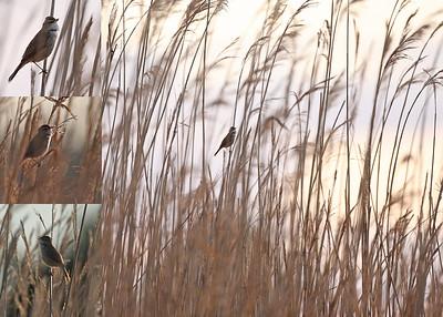Kenttäkerttunen (Acrocephalus agricola)