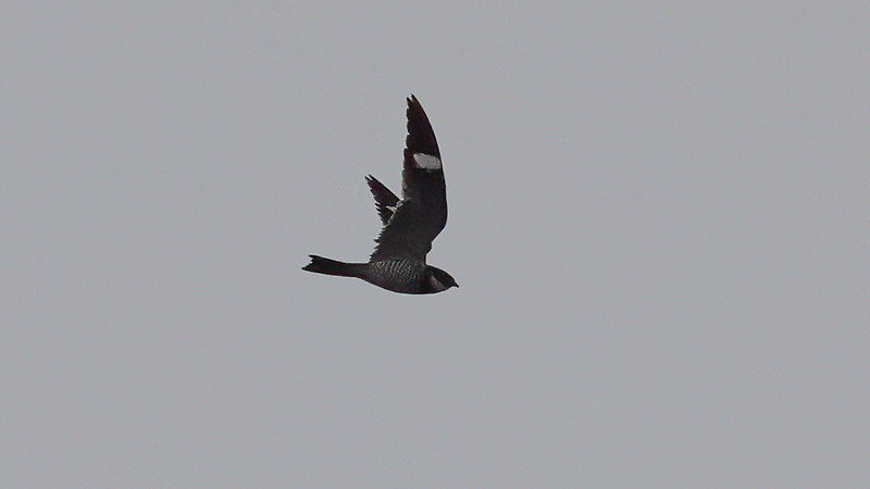 Common Nighthawk @ SPI -  N. of Beach Access