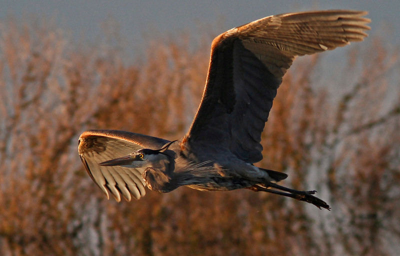 Great Blue passing through the ponds at sunset, Las Gallinas