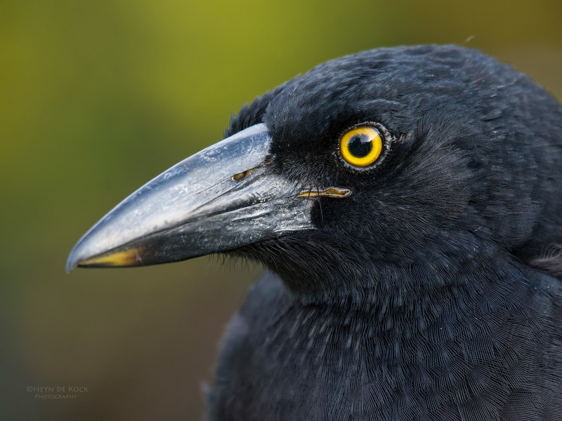 Pied Currawong, Worongary, QLD, March 2016-3.jpg
