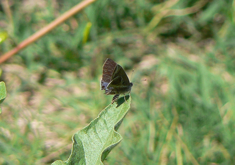 P104LantScbHS195 Oct. 2, 2008  2:57 p.m.  P1040195 Lantana Scrub Hairstreak, Strymon bazochii, Los Troncones (Cd.Vic.)