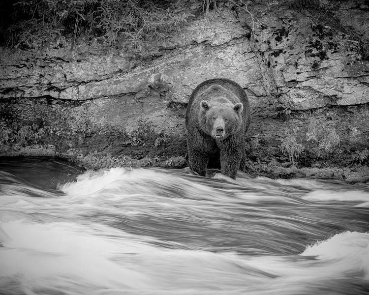 bear in slow water b&w.jpg