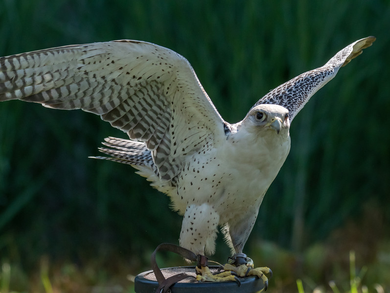 Gyrfalcon Wings up