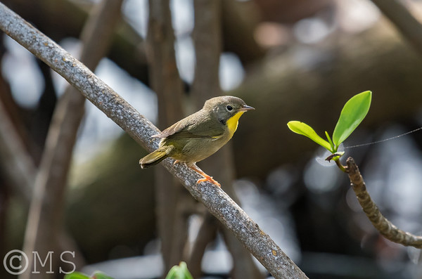 Common Yellowthroat Warbler Image Gallery