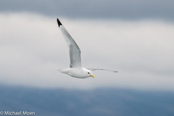 Iceland 2013 Birds