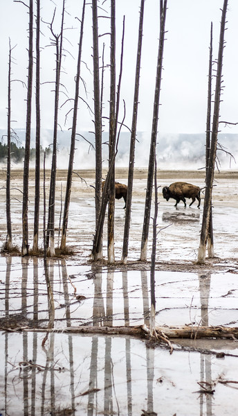 Bison in steam of geyser basin Fountain Paint Pots Yellowstone National Park WY IMG_0924.jpg