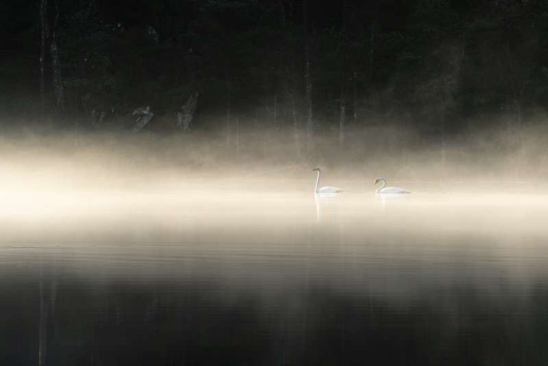 Two swans twelve