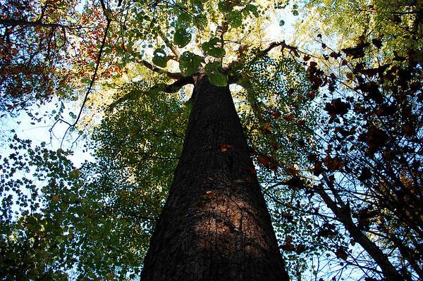 Big Trees along the Boogerman Trail  (10/2009)