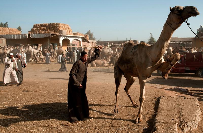 camel merchant beating a camel back to his enclosure.   Cairo, Egypt, 2010.