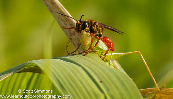 Sphecidae Wasps (Sphecidae)