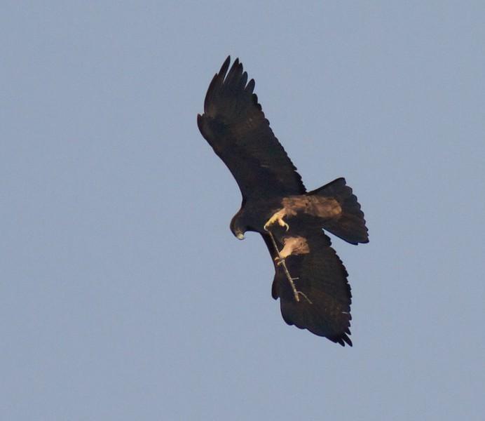 Golden Eagle Teddy Roosevelt National Park ND IMG_7088.jpg
