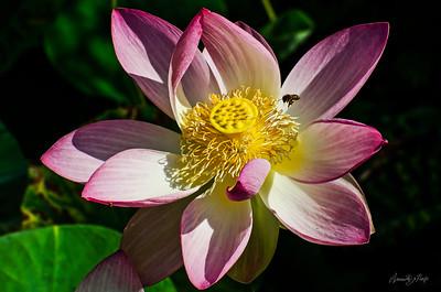 Lovely Lotuses