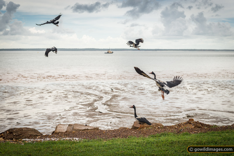 Magpie Geese on the Darwin foreshore, NT