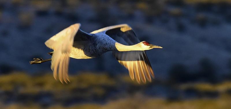 Morning Flight in Golden Light