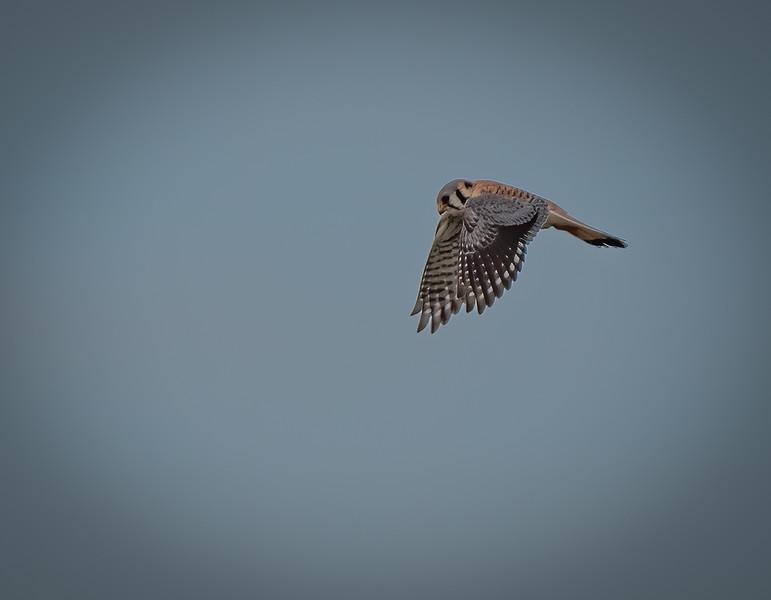 _6001762-Edit-American Kestrel male wings down.jpg