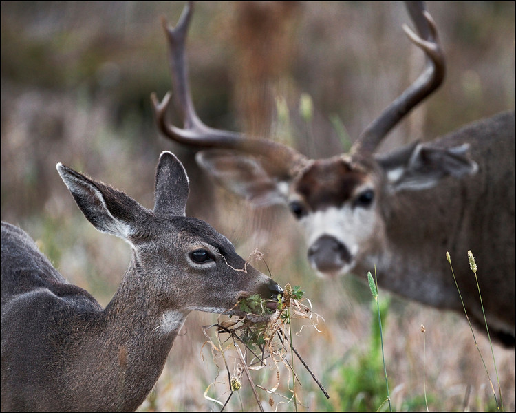 Black-tailed deer mating season