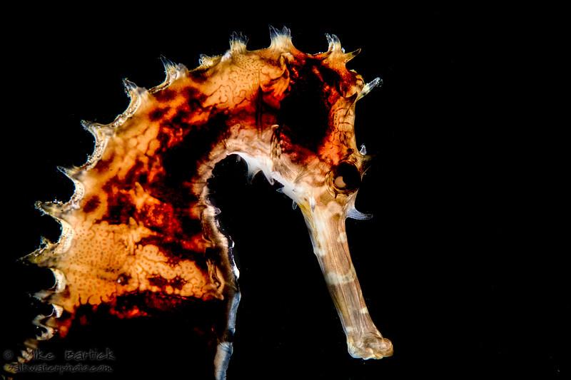 Backlit seahorse (1 of 1).jpg