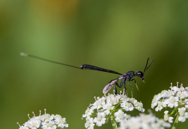Parasitic-wasp-daucus-female4.jpg