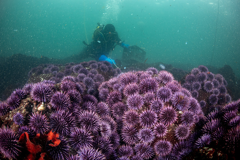 Commerical urchin diver, Grant Downie, quickly works to remove a blanket of purple sea urchins in Noyo Bay as part of a state sponsored program aimed to restore kelp forests.