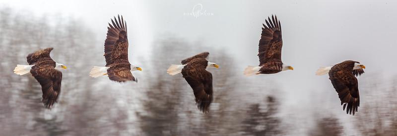 sm eagle_M4D2567.jpg