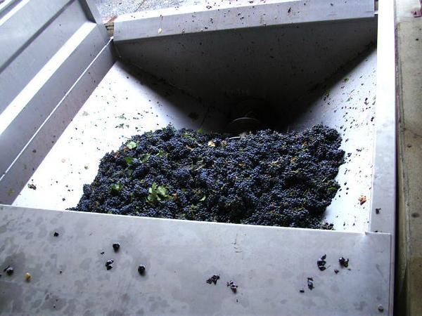 Grape harvest at Tavel winery
