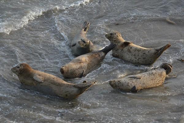 Harbor Seals Along California's Slow Coast....