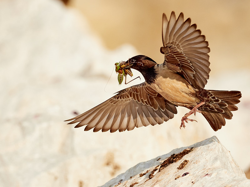 Rosy Starling coming in to land
